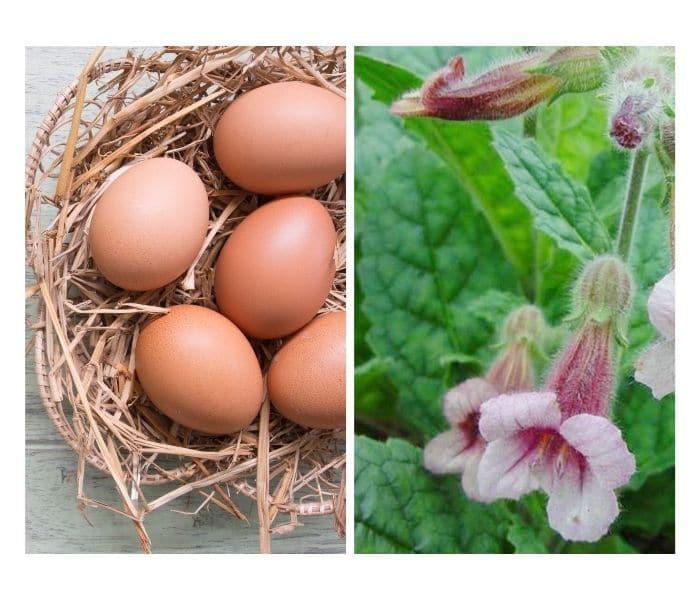 Sinh địa tính hàn, công dụng điều hòa thận, lương huyết, nhuận táo, kết hợp trứng gà trị tiểu nhiều lần