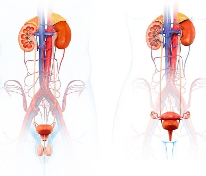 Nhiễm trùng đường tiết niệu cũng là nguyên nhân phổ biến dẫn tới uống nước nhiều nhanh đi tiểu