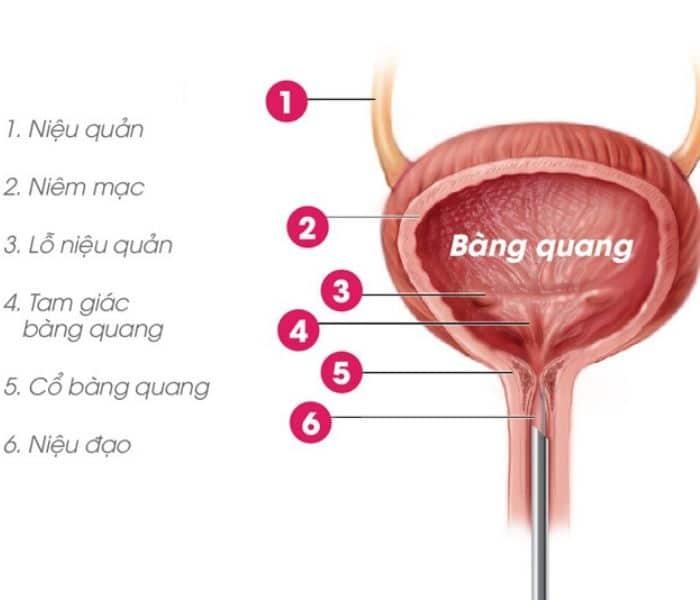 Bàng quang co bóp không đủ mạnh ảnh hưởng tới khả năng bài tiết nước tiểu và dẫn tới khó tiểu, bí tiểu ở người già