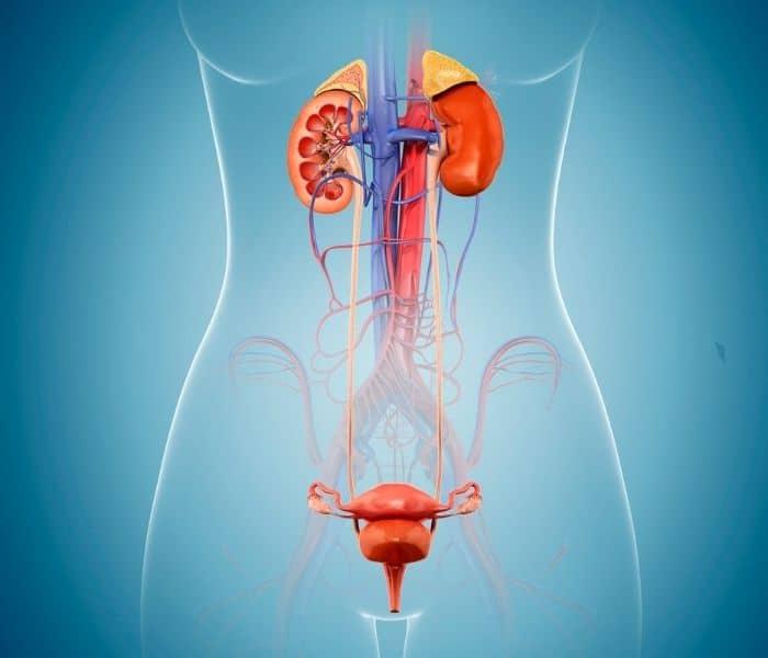 Nữ giới có nguy cơ cao mắc viêm đường tiết niệu gây ra tiểu buốt, tiểu rắt, đau bụng dưới